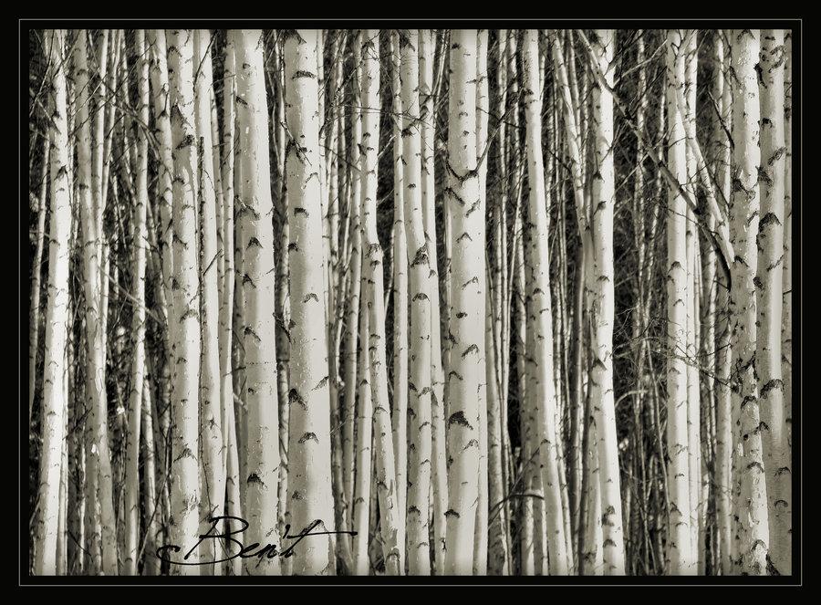 Birch Tree Wallpaper   Desktop Backgrounds 900x663