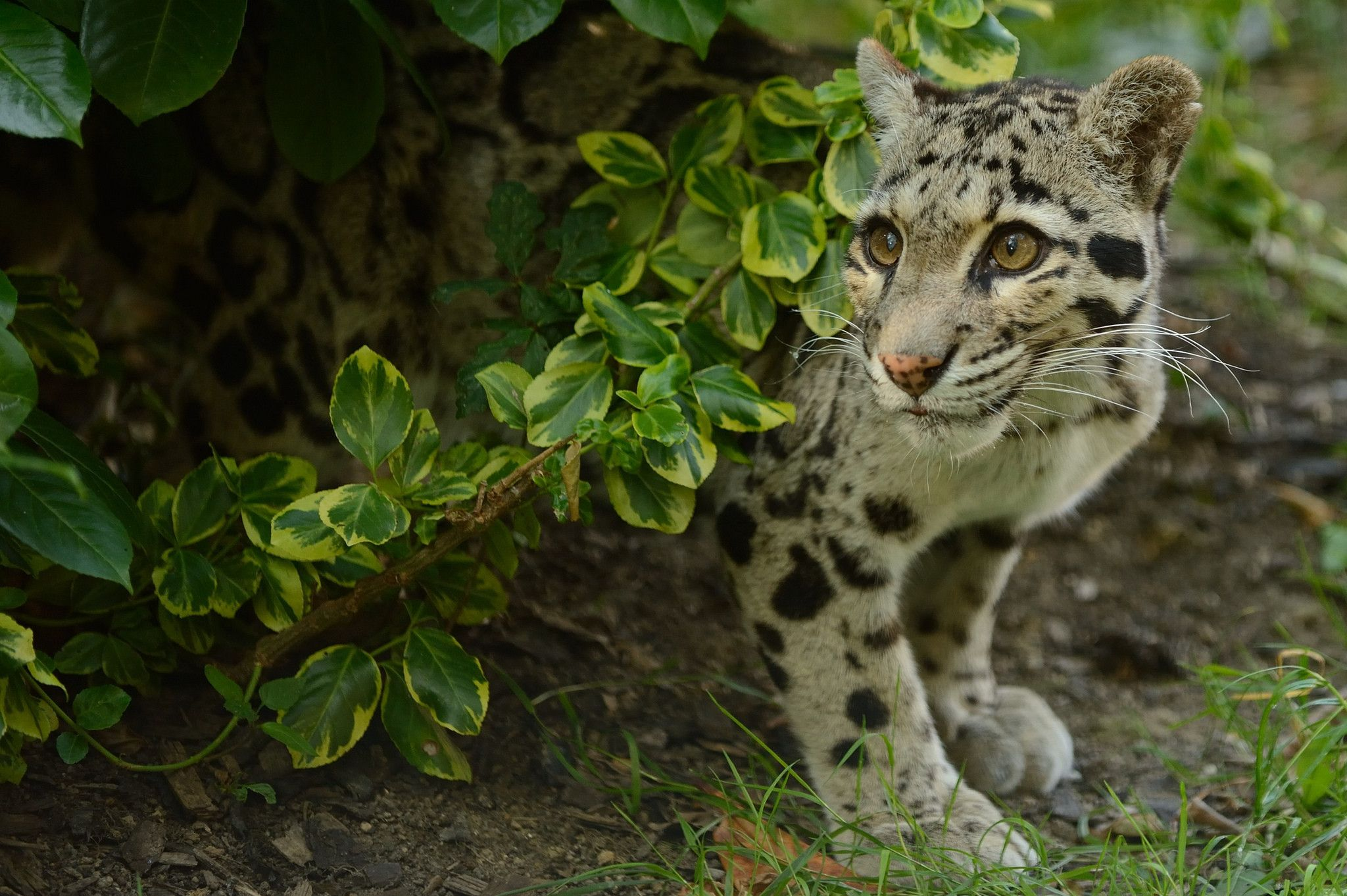 Clouded Leopard Wallpapers 2048x1362