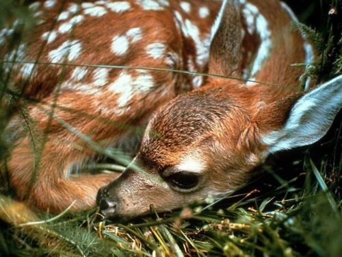 Resting Deer Screensaver Screensavers   Download Resting Deer 500x375