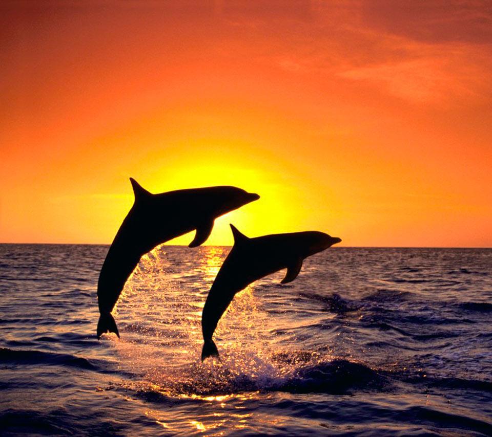Nature Beach Sunset Dolphins High Resolution Wallpaper Widescreen 960x854