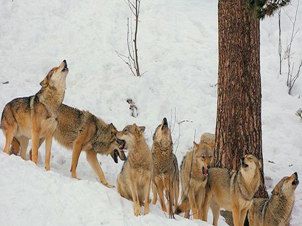 Nevada Wolf Pack Wallpaper: Wolf Pack Wallpaper