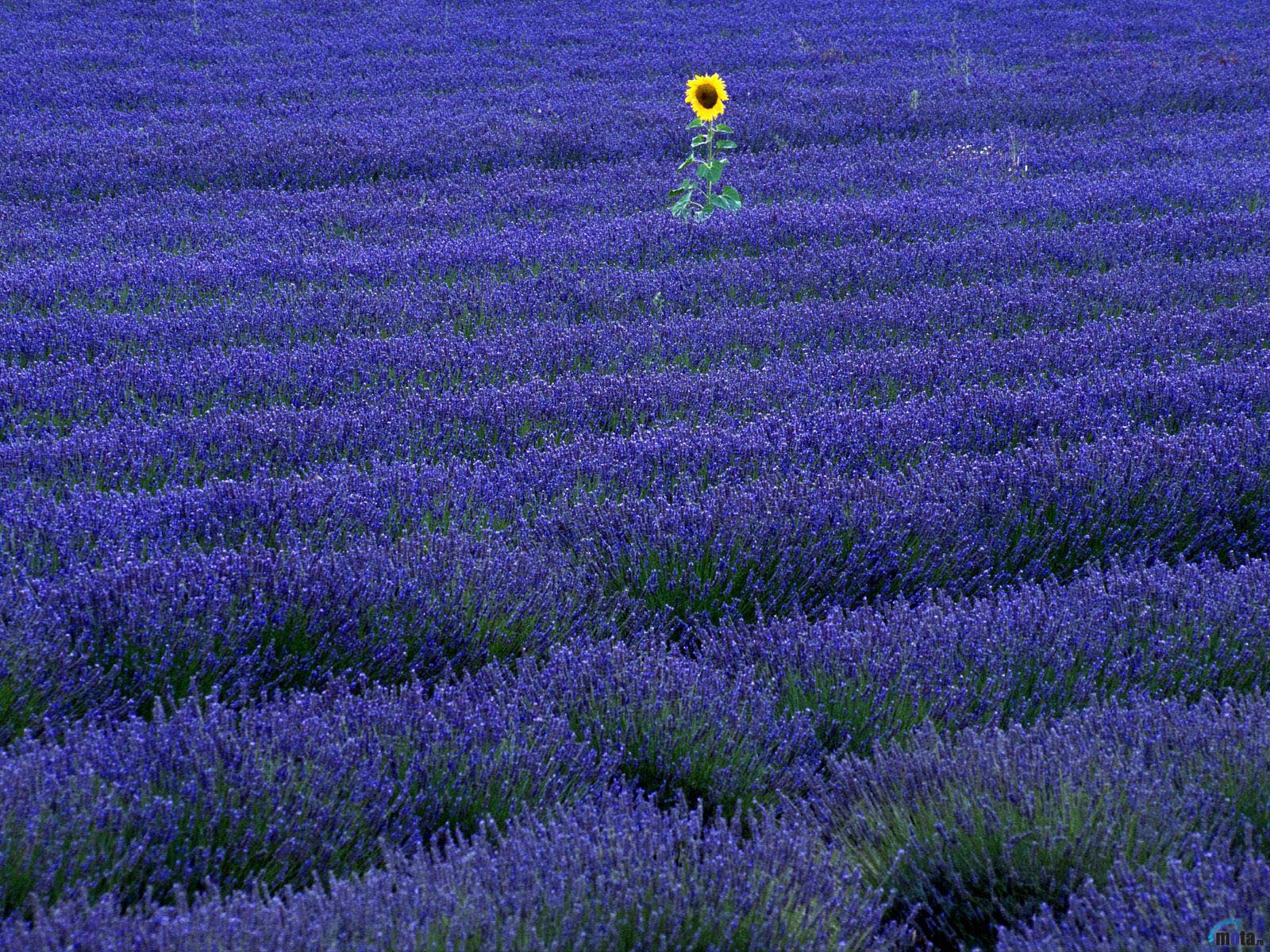 Wallpaper sunflower purple lavender Sunflower in lavender field 1600x1200