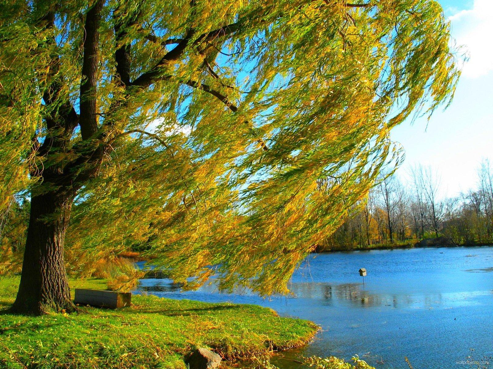 Download Willow Tree At Fall Wallpaper Wallpaper 1600x1200