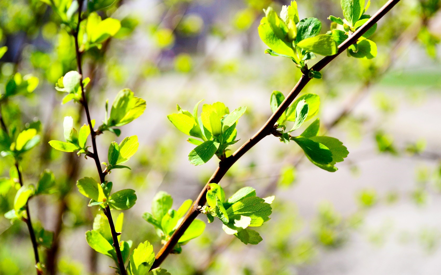 spring green leaves bud photo branch blur background wallpaper 1680x1050