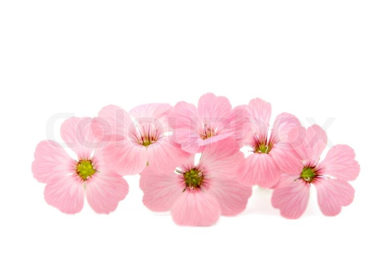 Pink Flower White Background - WallpaperSafari