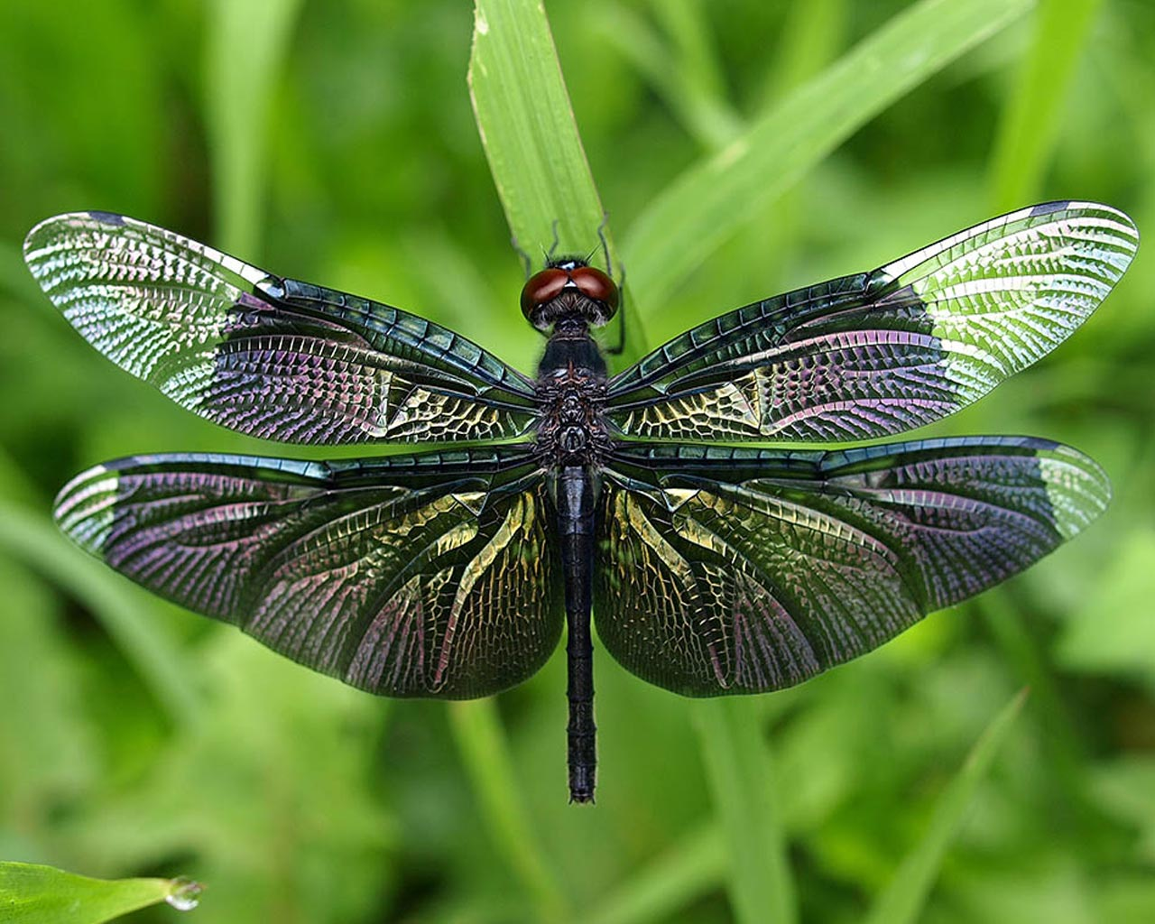 Amazing Dragonfly Insect   Dragonfly Facts Images Information 1280x1024
