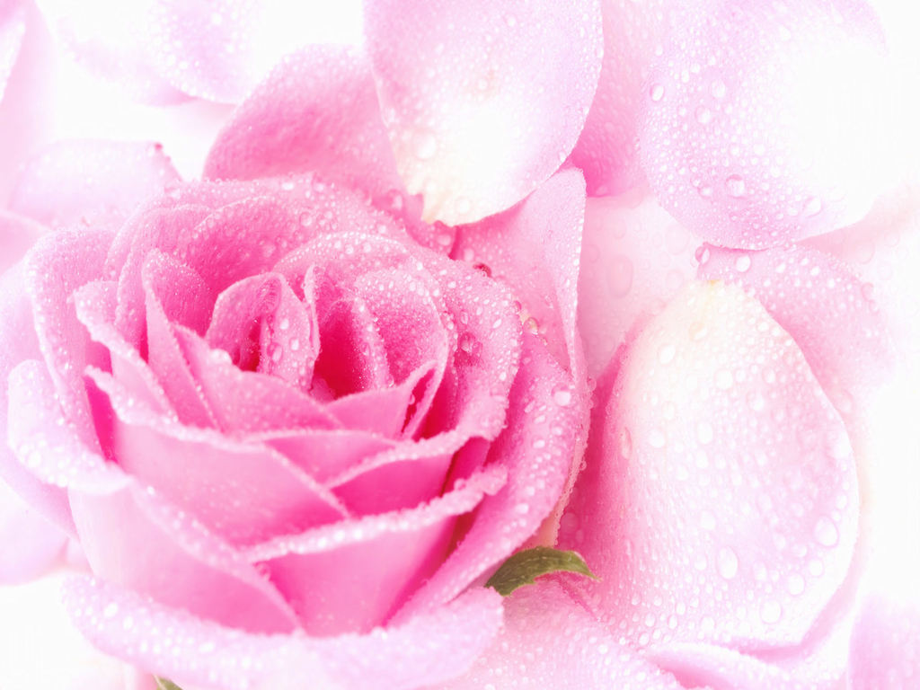 1024x768px Pink Flowers Backgrounds Wallpapersafari