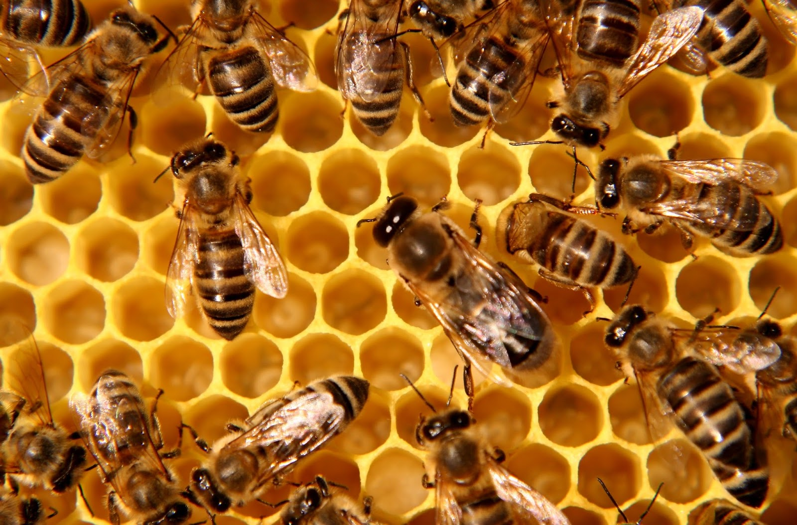 National Honey Bee Day was August 17 Did you celebrate 1600x1054