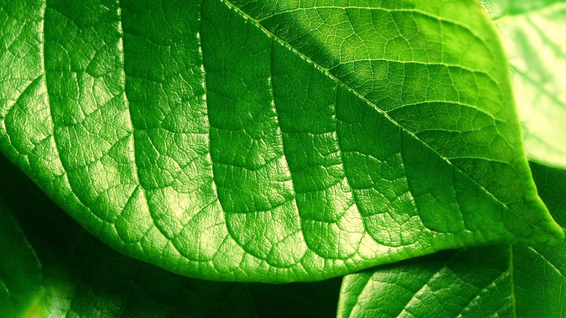 Green Leaf Wallpaper - WallpaperSafari