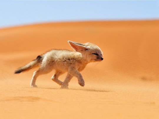 Baby Fox In Desert PhotosHD WallpapersImagesPictures 540x405