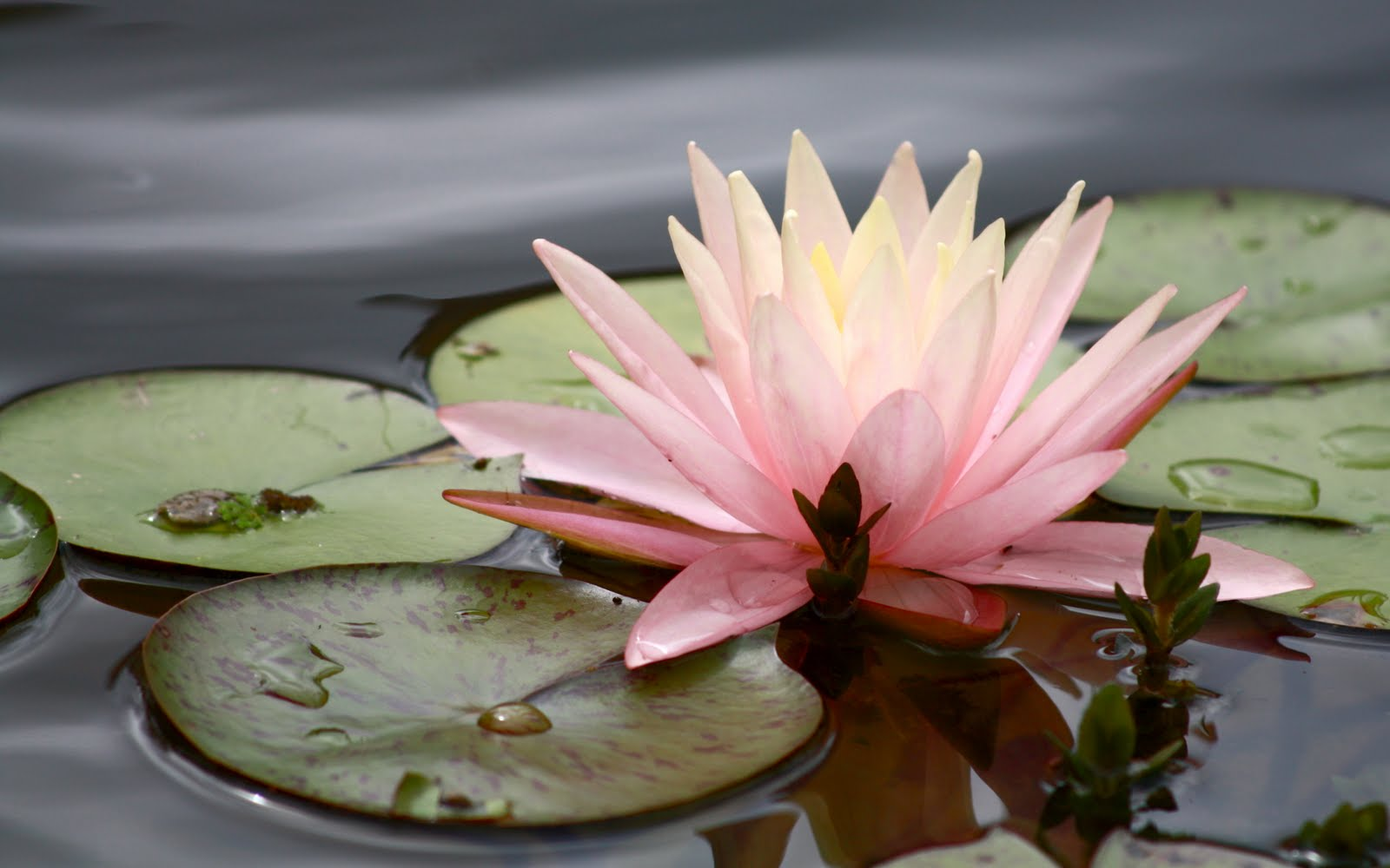 flowers for flower lovers water lilly flowers 1600x1000