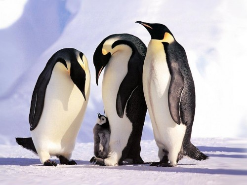 Penguins Family Screensaver Screensavers   Download Penguins 500x375