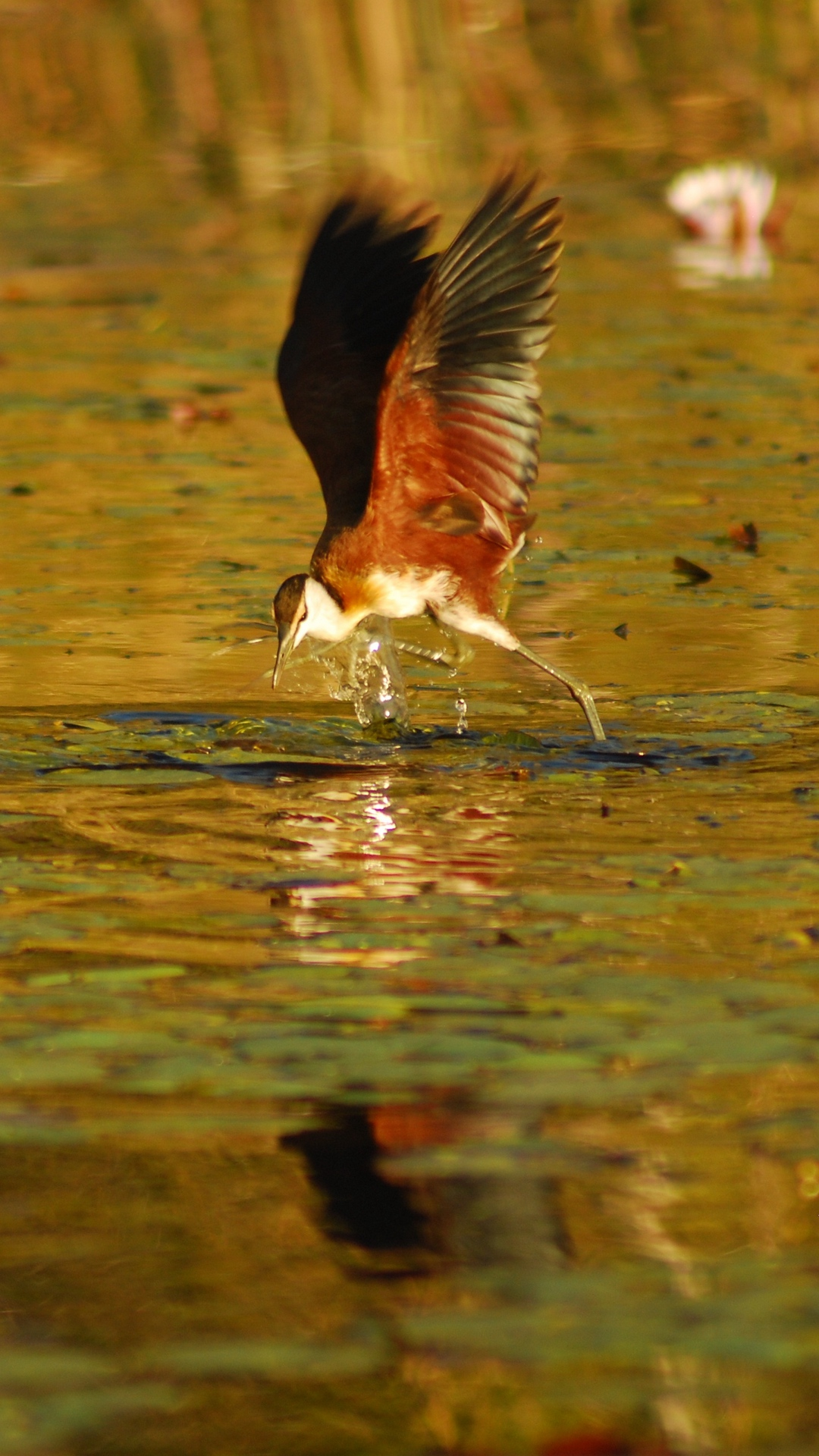 Download wallpaper 1080x1920 botswana bird africa flight 1080x1920