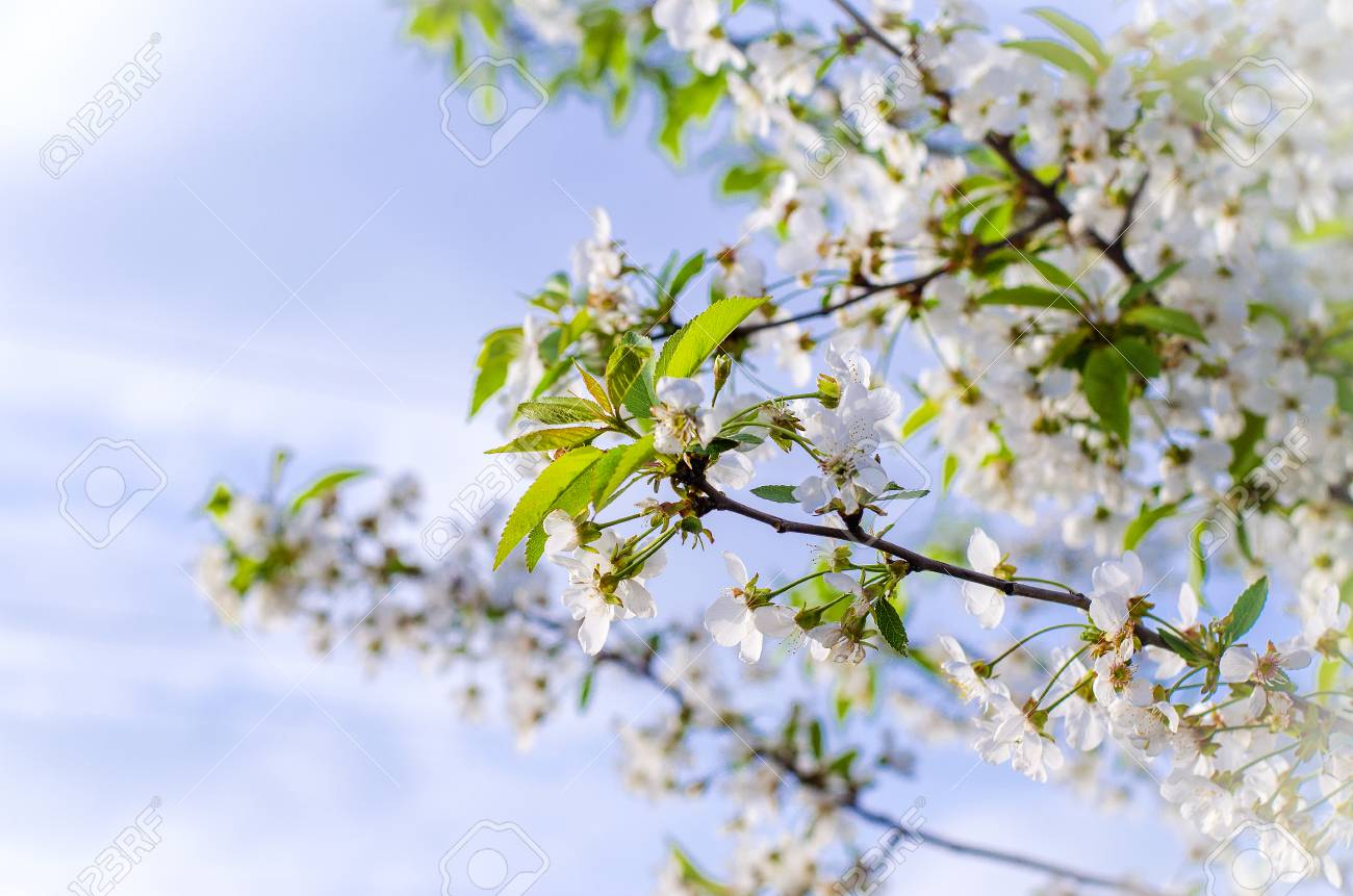 Beautiful Cherry Blossom In The Spring On A Sunny Day Wallpaper 1300x861