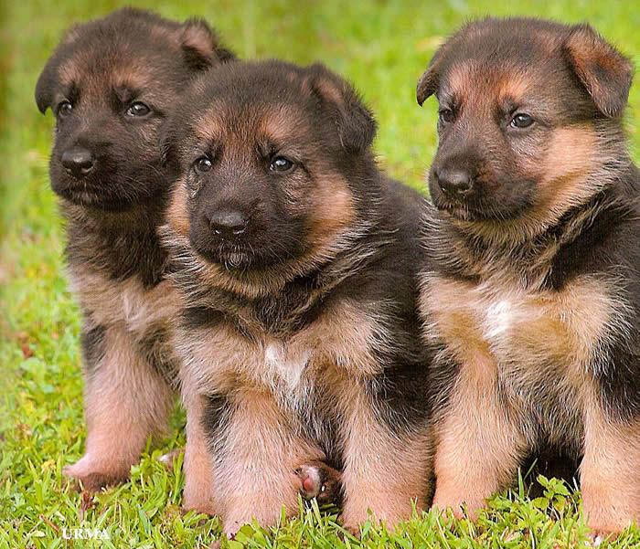 German Shepherd Puppy Pictures 700x601