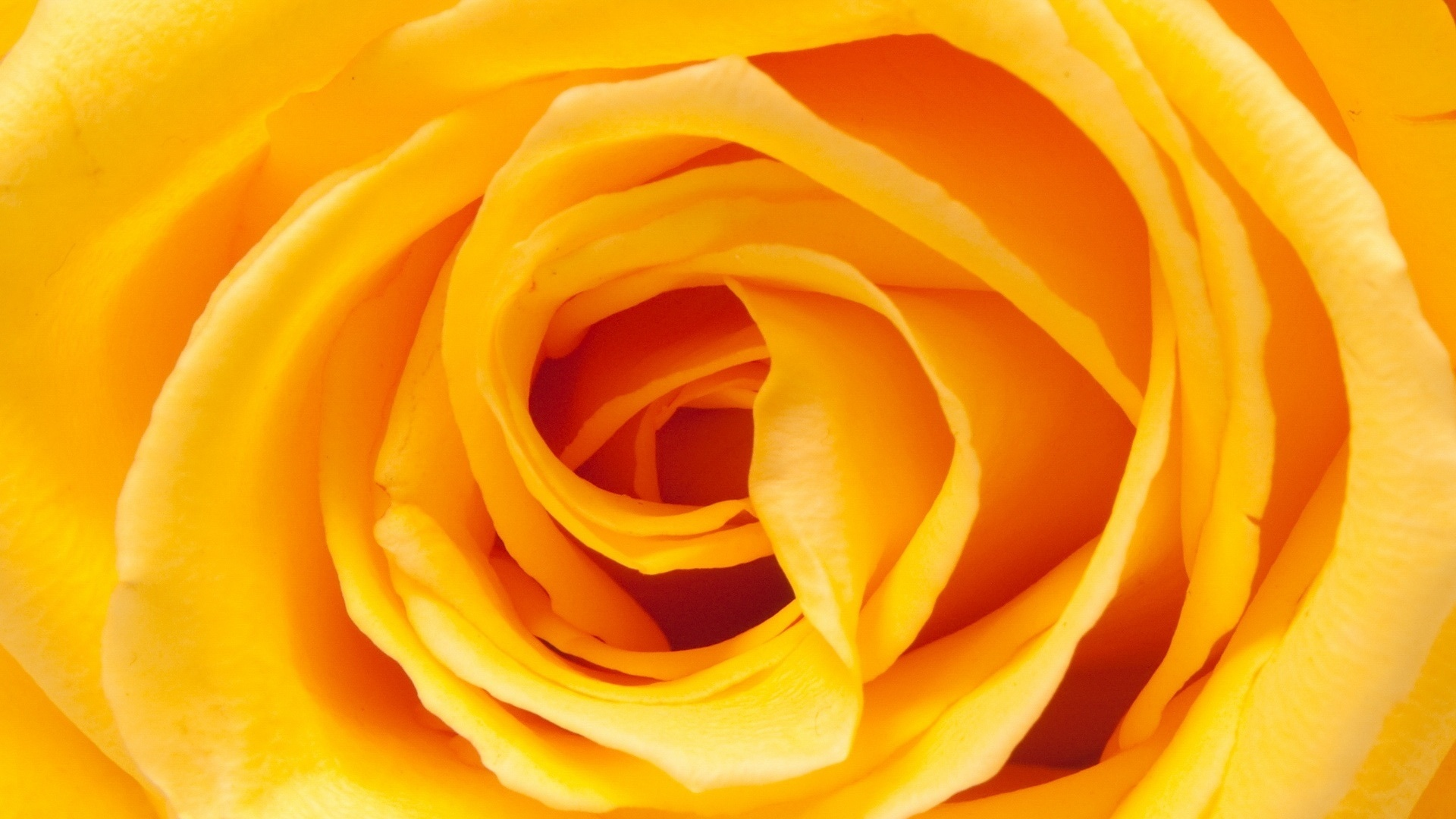 Yellow Roses Wallpaper - WallpaperSafari