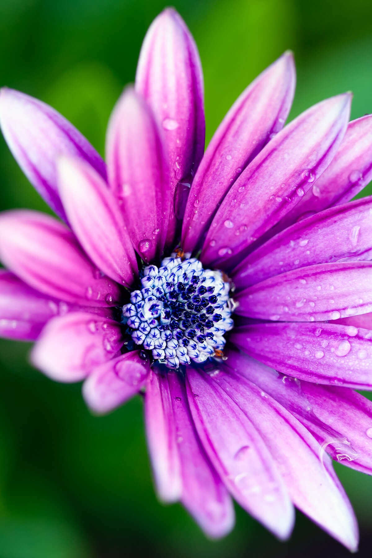 Purple Daisy Wallpaper for Amazon Kindle Fire HDX 1200x1800
