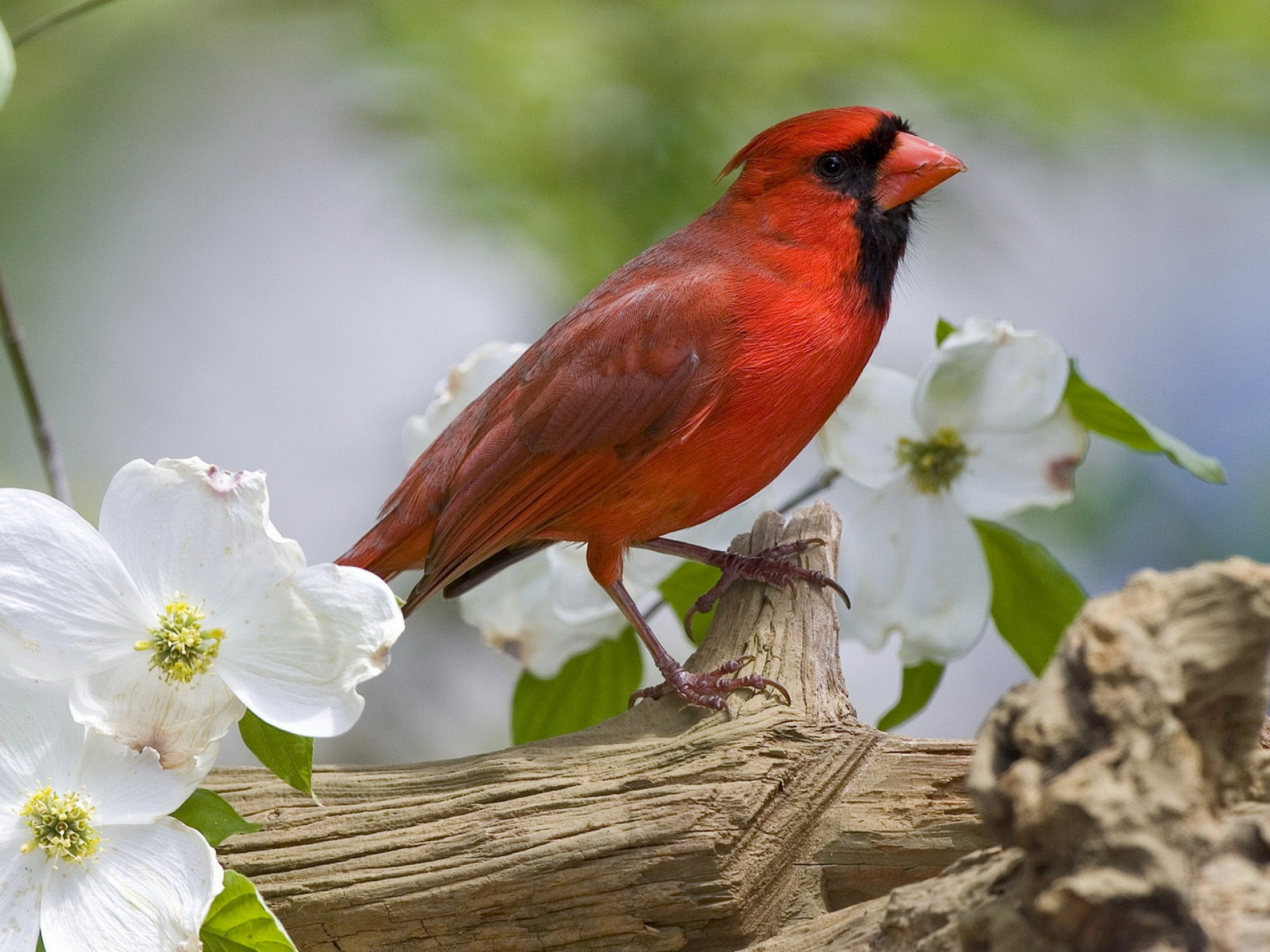 Red Cardinal On A Branch Wallpaper   Download Wallpaper 1920x1440