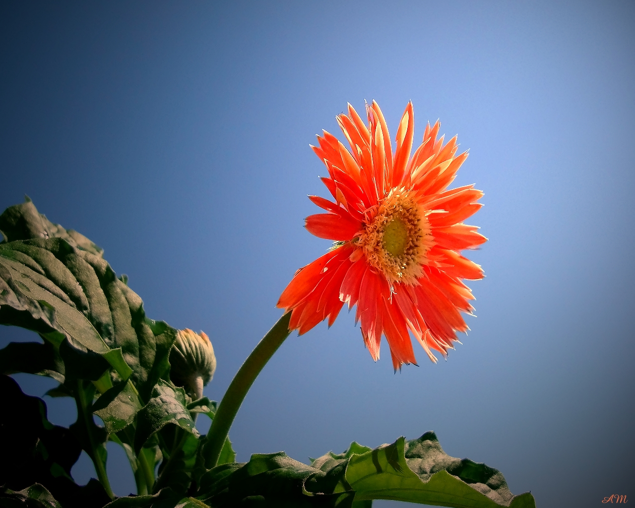 Gerbera Daisy Wallpaper   ForWallpapercom 1280x1024