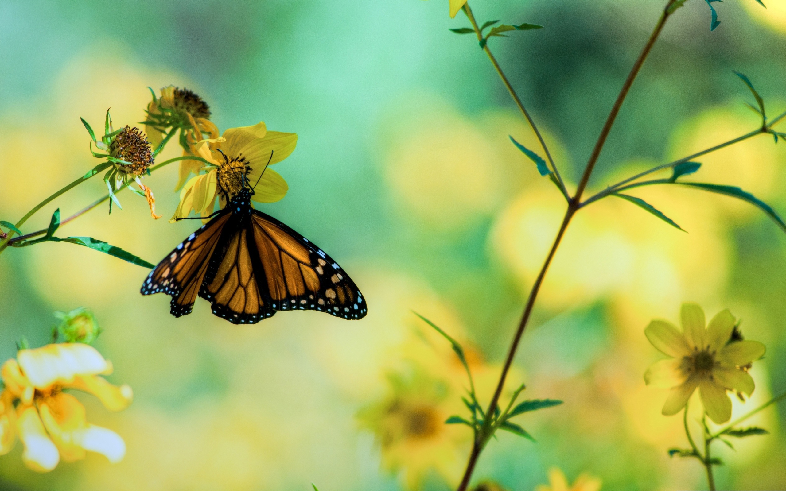 Monarch Butterfly Backgrounds wallpaper wallpaper hd background 2560x1600