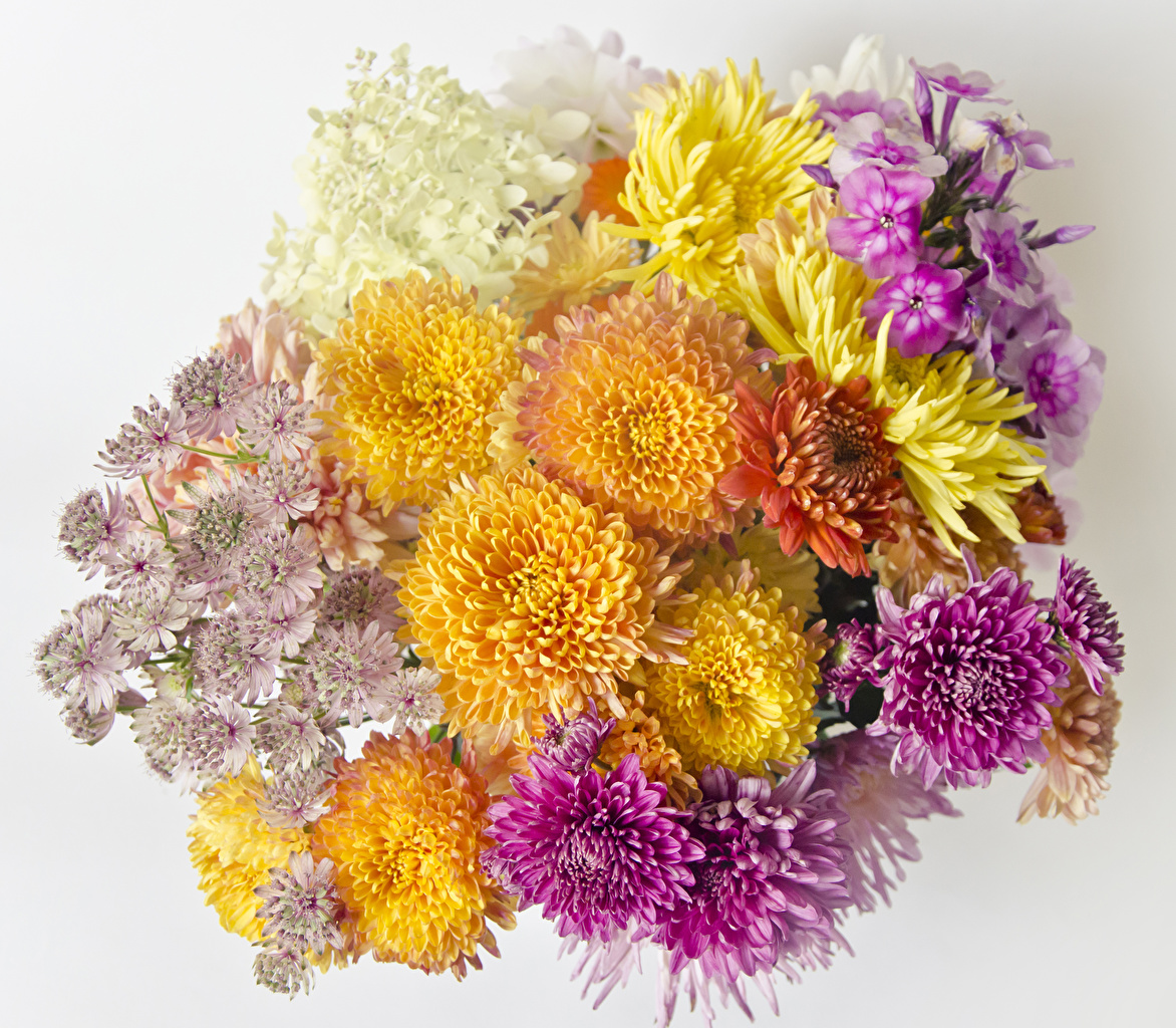 Images Mums flower Closeup White background 1172x1024