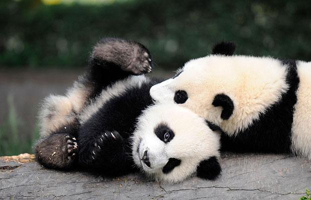Panda Bear Links 620x400