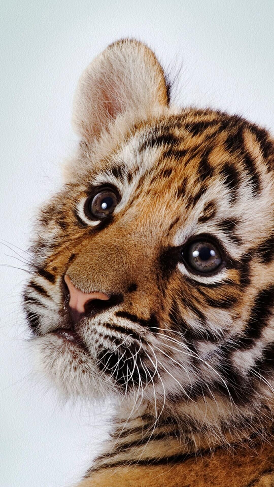 48+ Tiger iPhone Wallpaper Supreme on WallpaperSafari