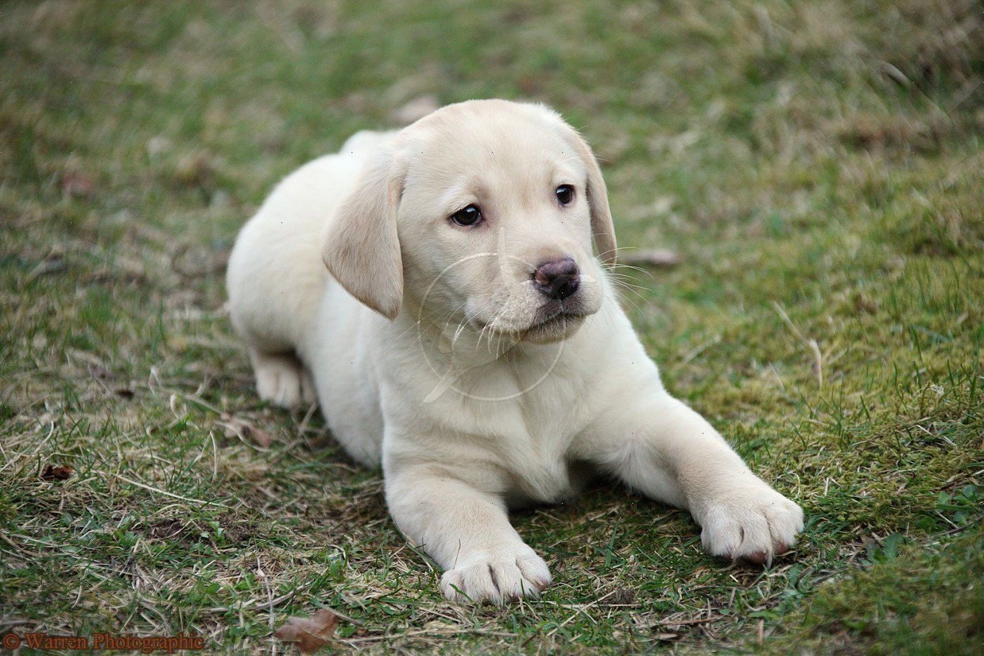 Labrador Retriever puppy photo and wallpaper Beautiful Labrador 1402x935