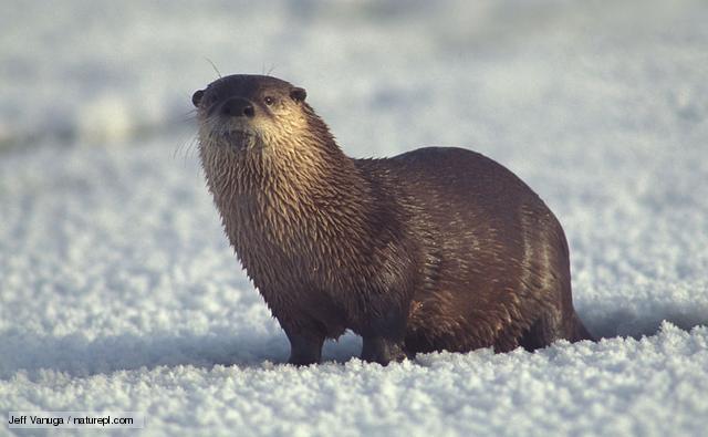 The River Otter Interesting Sea Animal The Wildlife 640x395