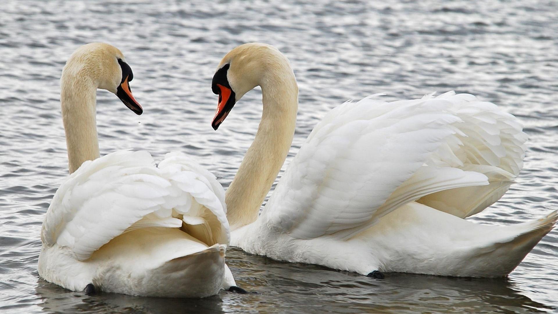 Swans wallpaper 262 1920x1080