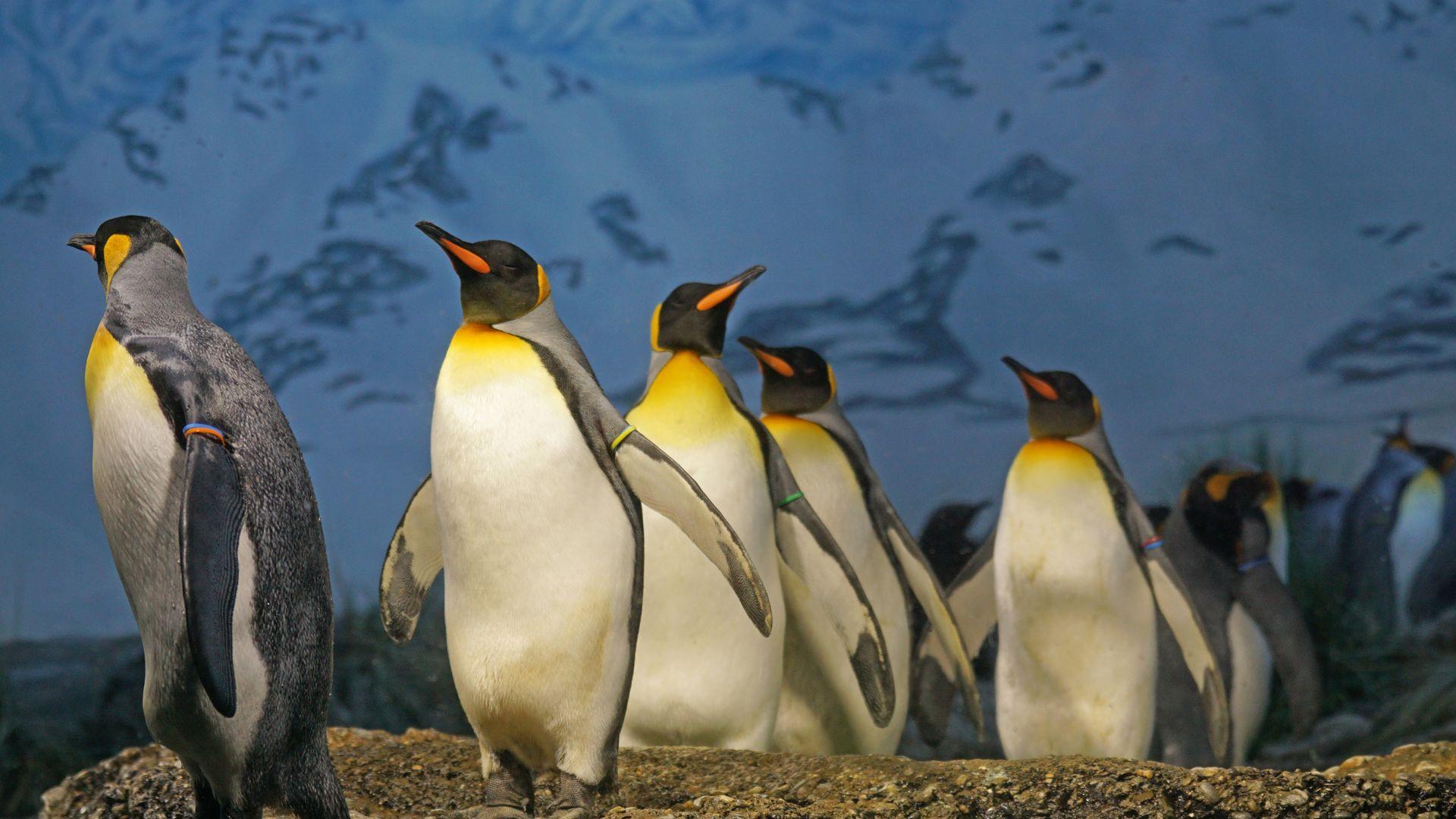King Penguin Daylight Outdoor HD Wallpaper   Wallpaper Stream 1920x1080