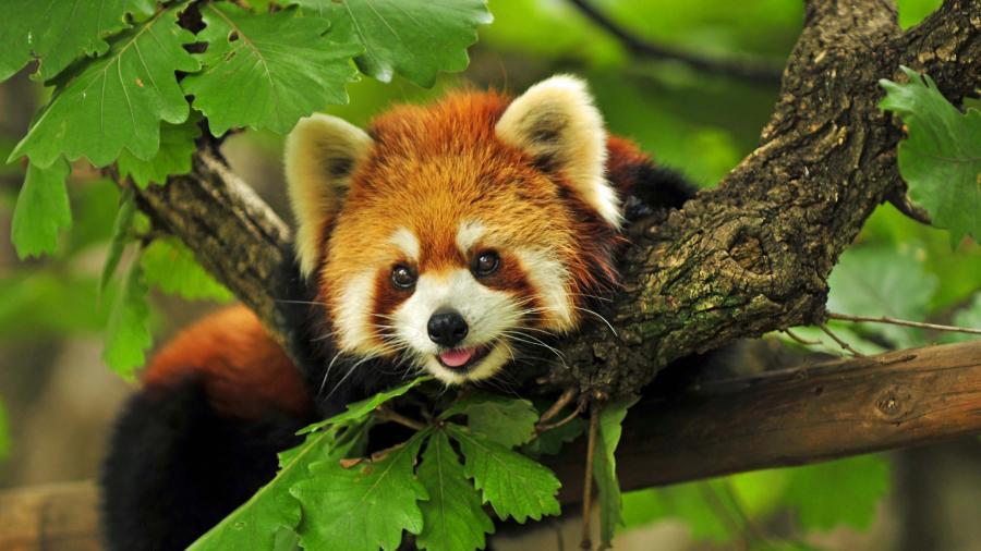 name cute red panda 4k wallpapers description download cute red panda 900x506