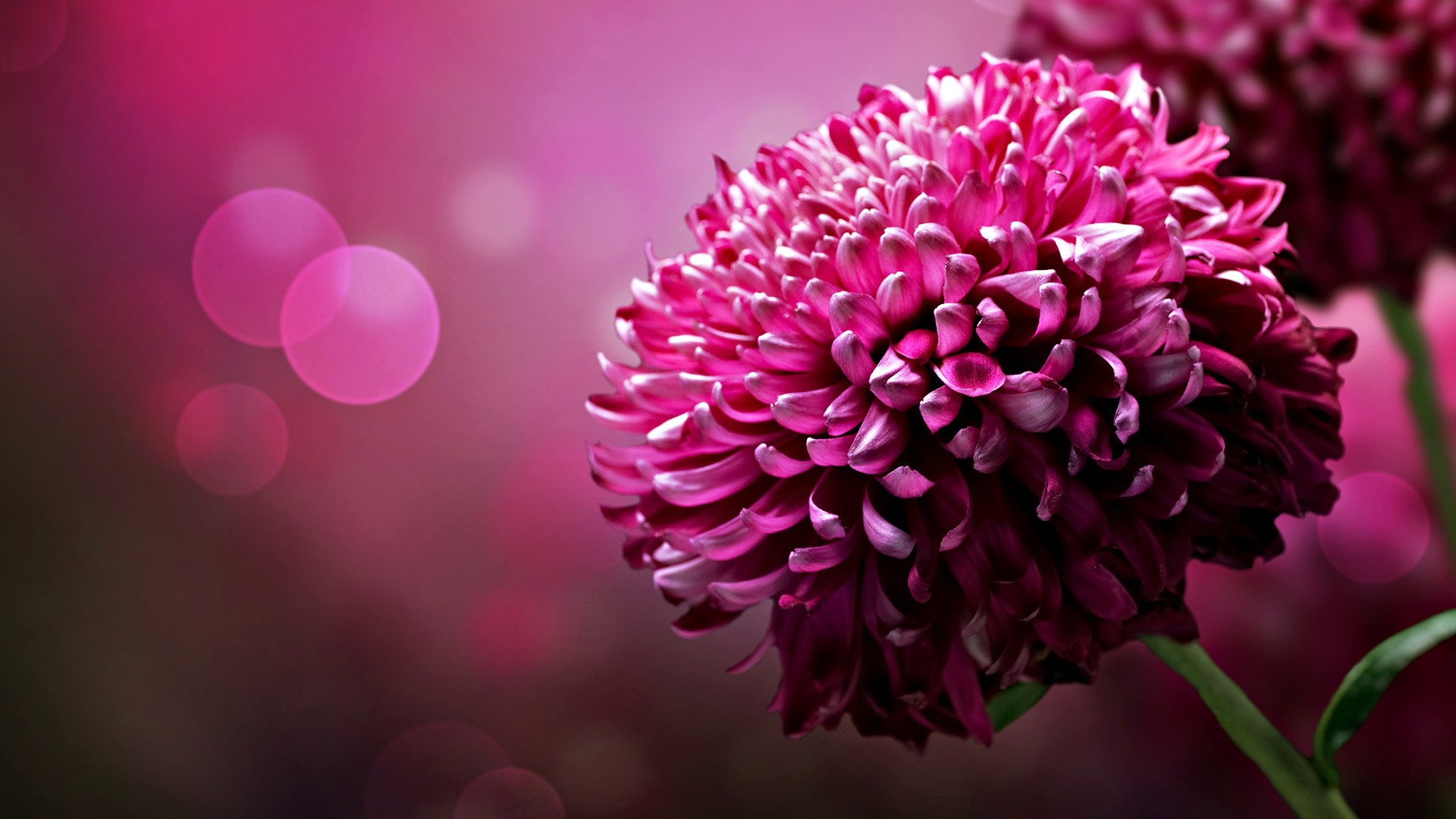 beautiful flower desktop wallpapers 1920x1080
