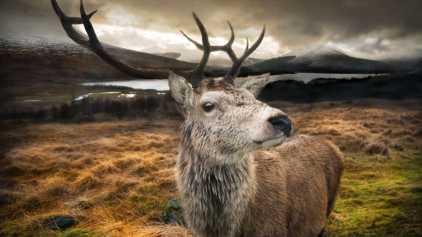 Scotland Stag HD Wallpaper Dream Wallpapers 1366x768