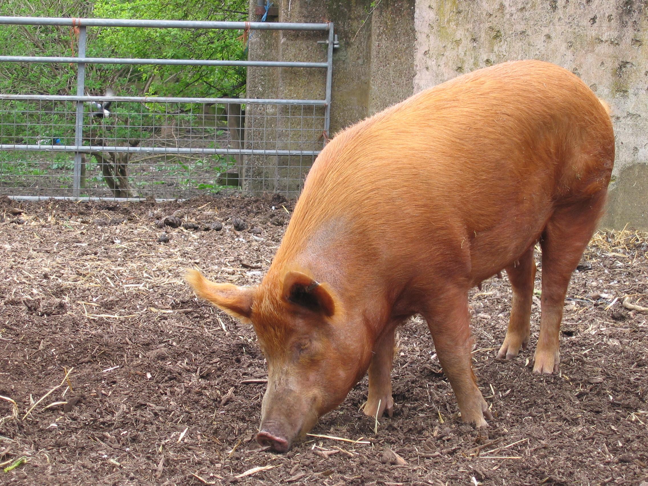 FileMudchute farm pig sidejpg   Wikipedia the encyclopedia 2272x1704