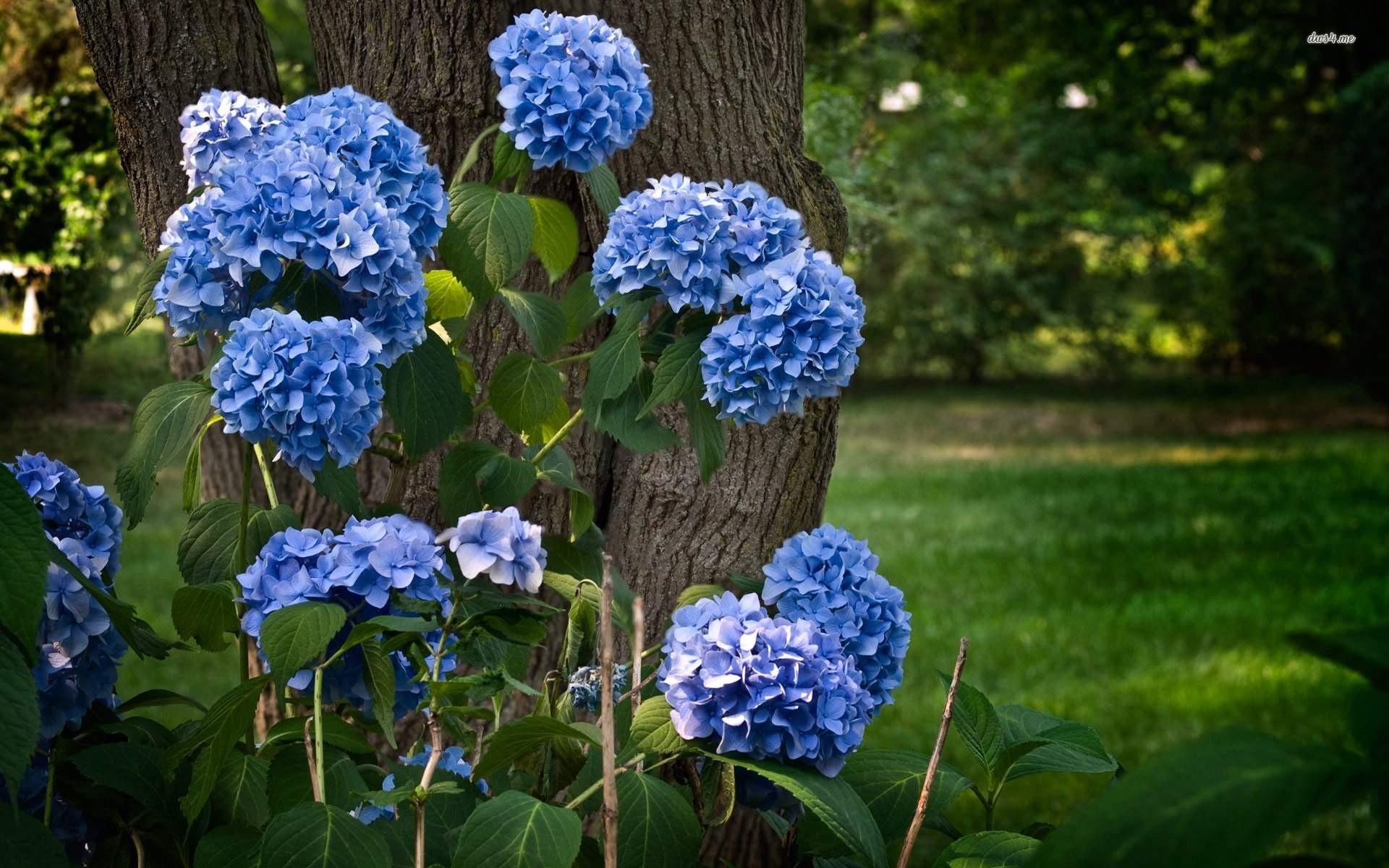 Blue Hydrangea Wallpaper