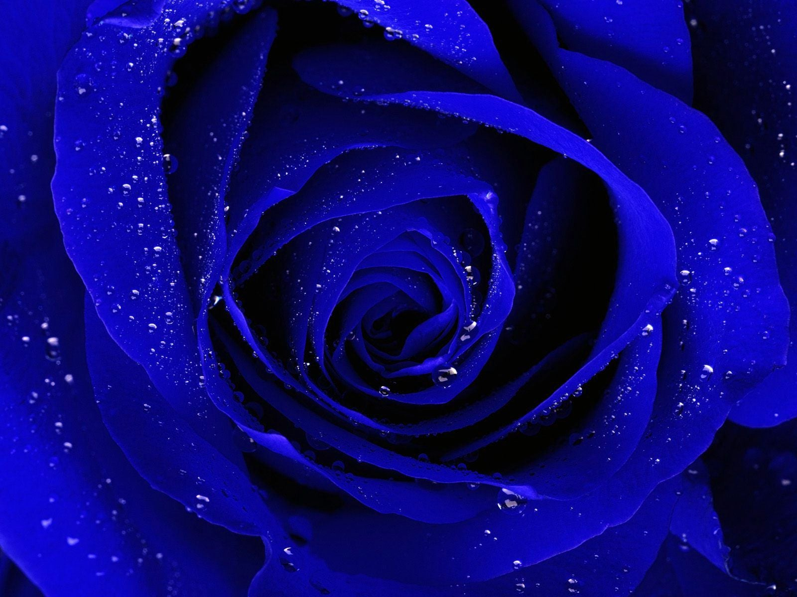 Blue Roses Background - WallpaperSafari