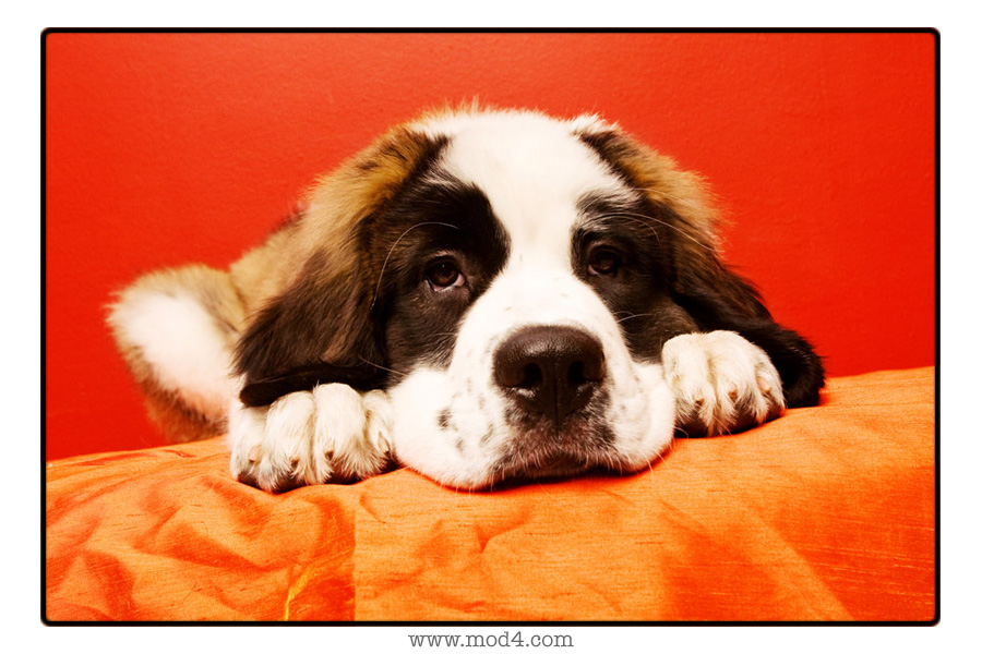 St Bernard Wallpaper