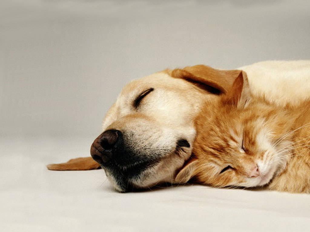 AniCompendium Wallpaper Cat and dog spooning 1024x768
