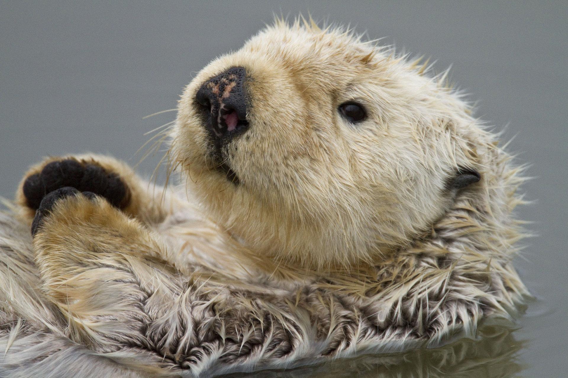Sea Otter 952524 Sea Otter 952513 Sea Otter 952531 Sea Otter 1920x1280