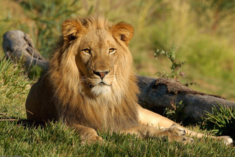 Lion Funny Wallpapers For Iphone 3GS Lion Lion Image Lion Images 1500x1004