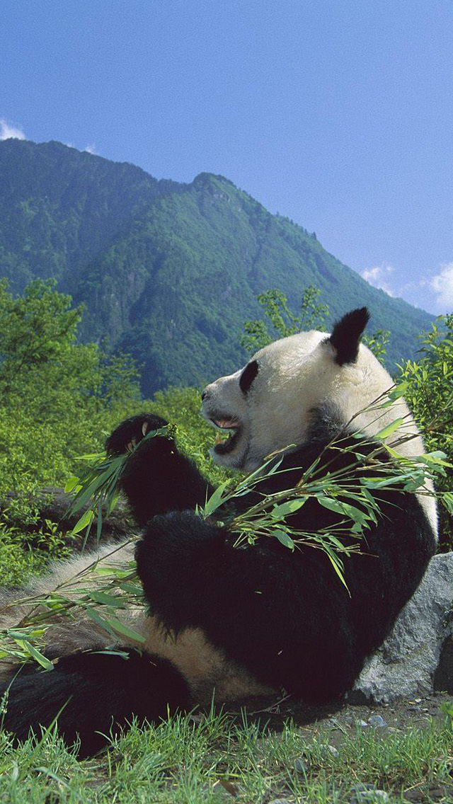 iPhone 5 wallpapers HD   Cute panda Backgrounds 640x1136