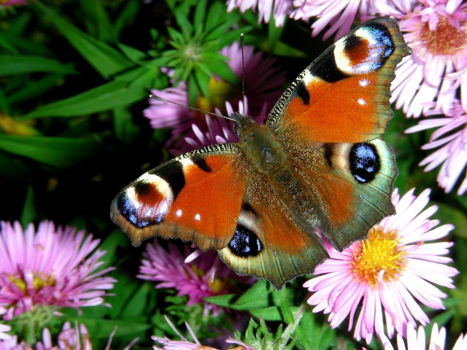 Beautiful Butterflies   Butterflies Wallpaper 9481795 1600x1200