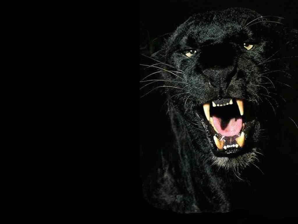 Animals Zoo Park Black Panther Wallpapers   Animals Hq Backgrounds 1024x768
