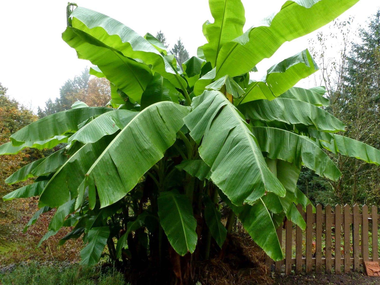 Banana tree pictures 1600x1200
