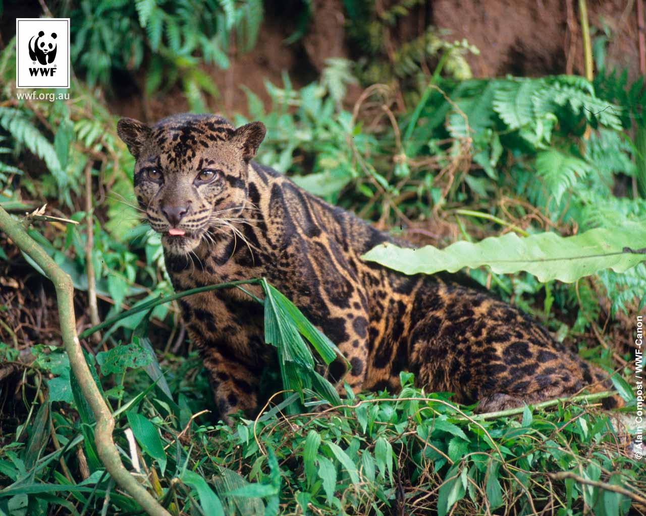 Clouded leopards wwf 1280x1024