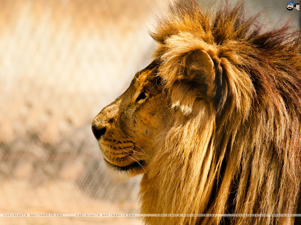 Free Download Lions Wallpaper 20 Click For Details Sunny Lion Images, Photos, Reviews