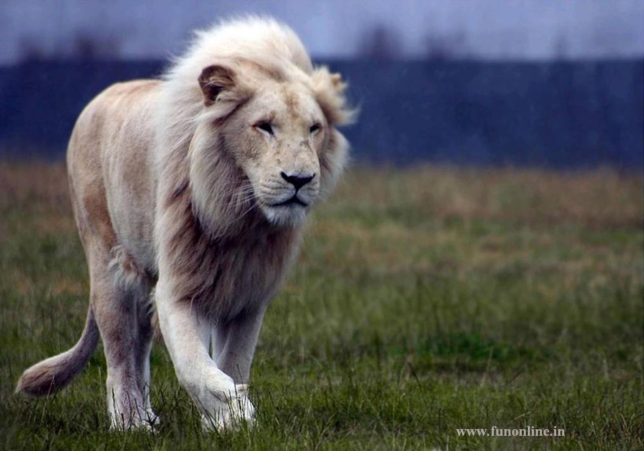 Lions Wallpapers White Lion Wallpapers Download Lions Wallpapers 1269x889