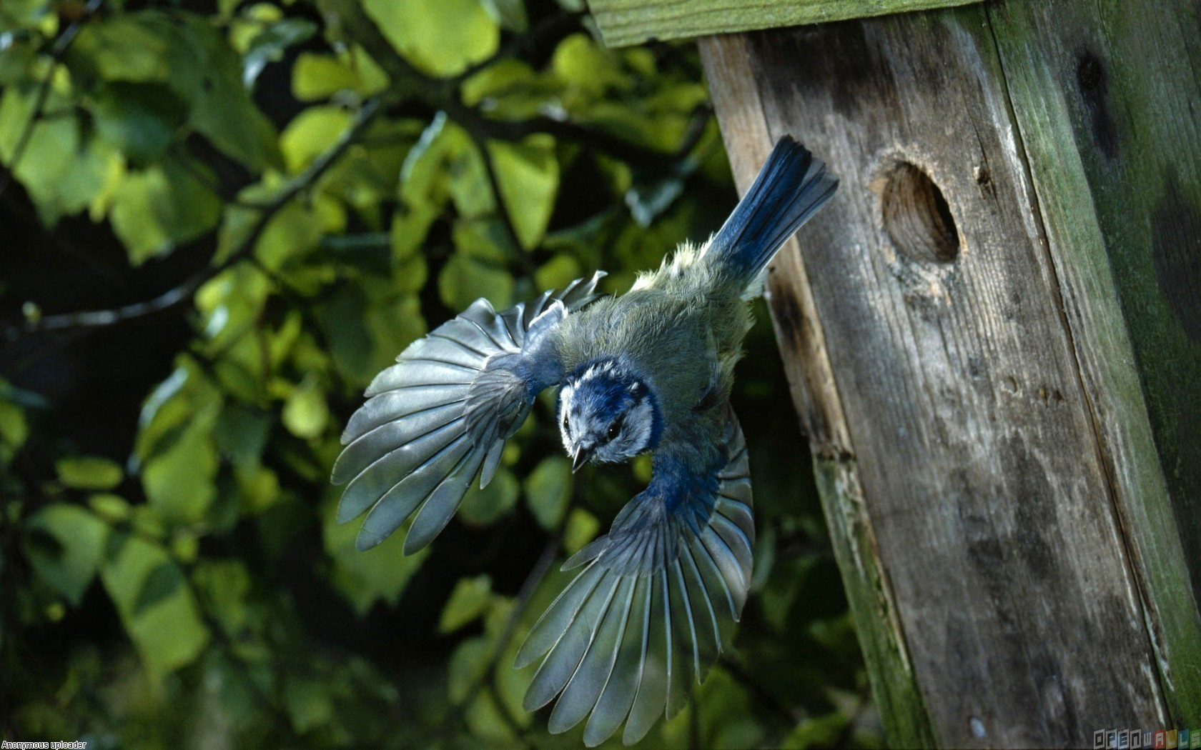 Beautiful blue bird wallpaper 3303   Open Walls 1680x1050