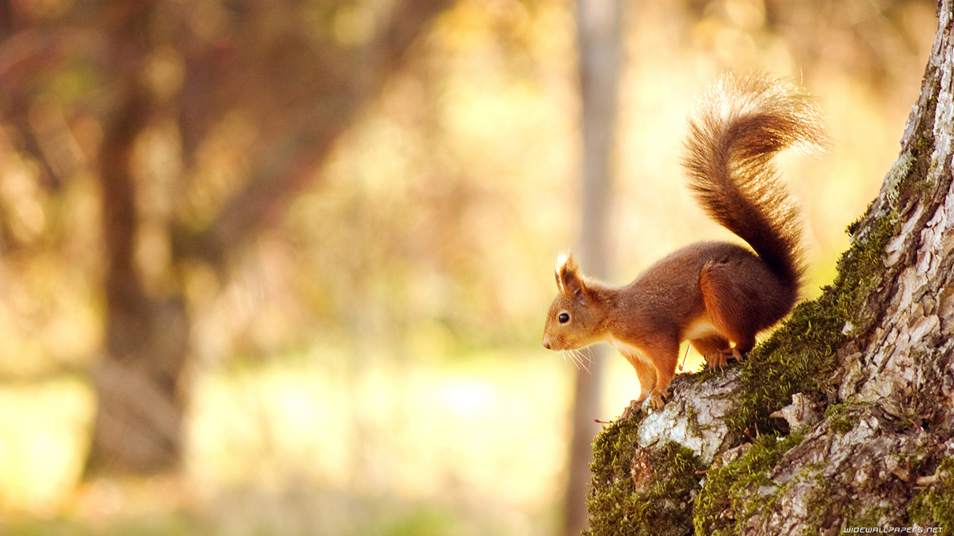 Squirrel Wallpapers HD Pictures One HD Wallpaper 1366x768
